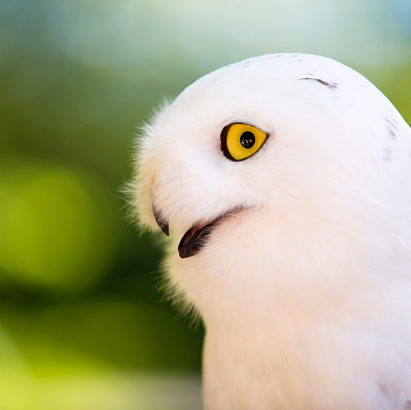 white owl copy