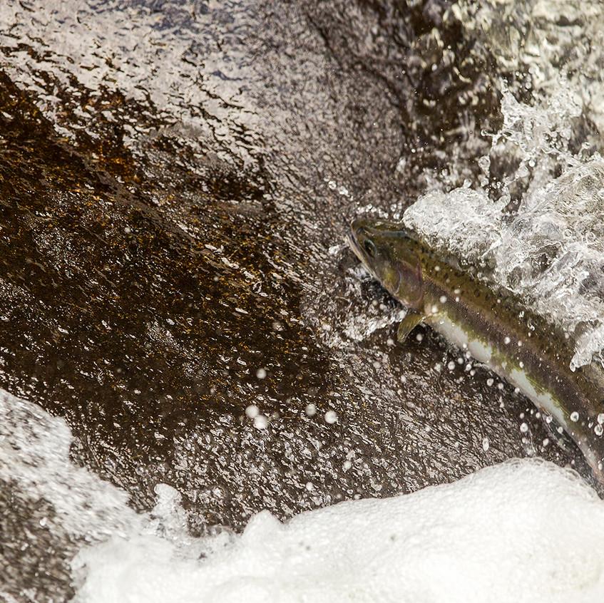 salmon splash copy