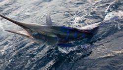 Stripe marlin Fishing