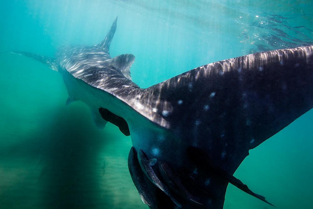 Whale shark tail La paz
