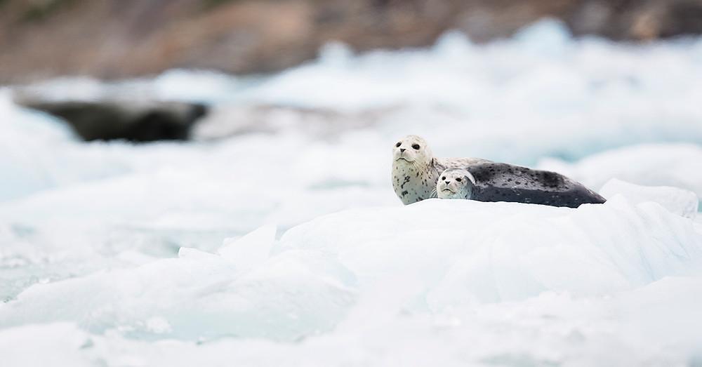 Seals on Iceberg Tracy Arm