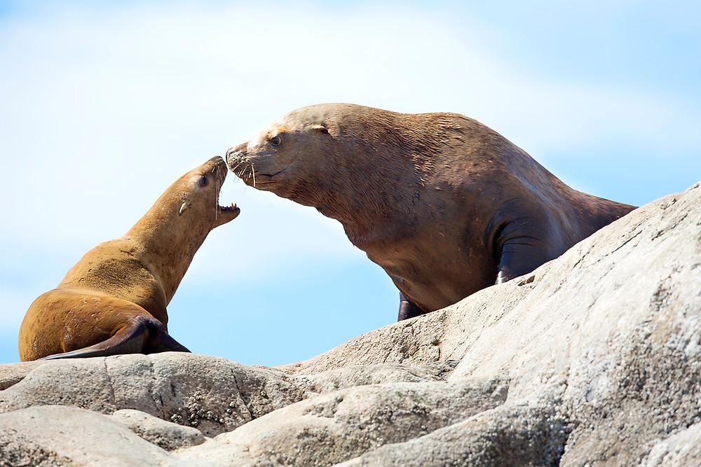 Sea Lions glacier Bay National Park