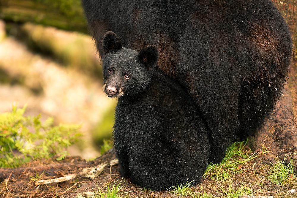 Baby Black bear Wrangell Alaska