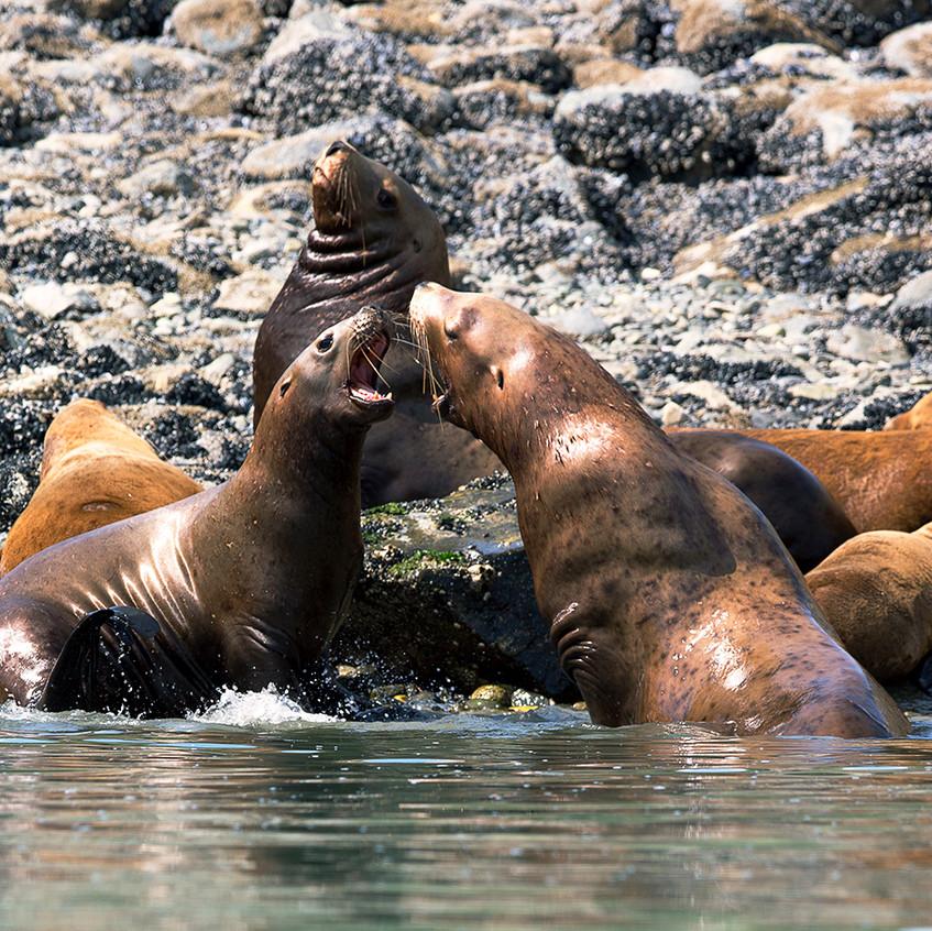 seal fight copy