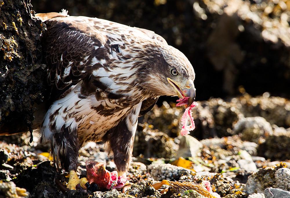 Juvenile Bald Eagle eating