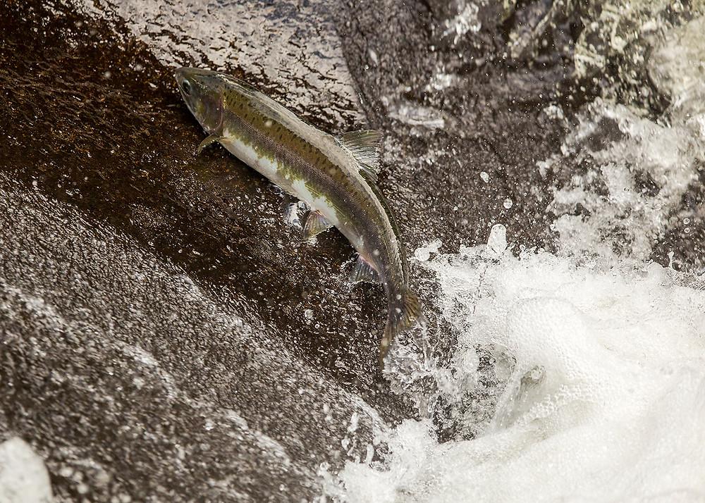Salmon Wrangell, Alaska