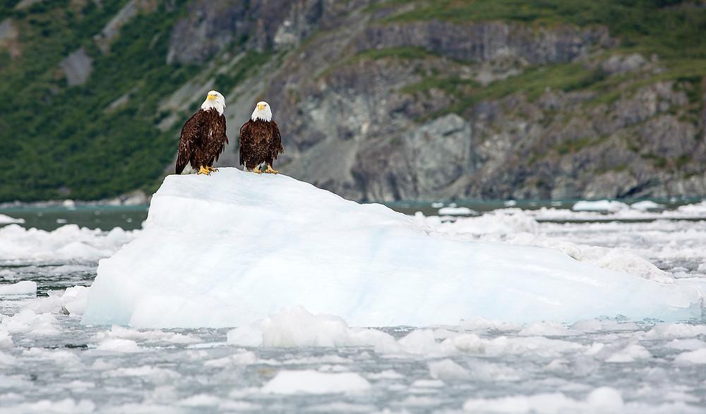 Eagles on Iceberg Glacier Bay Alaska