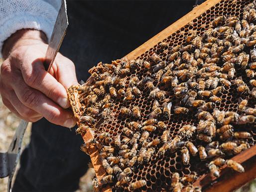 What do honeybees do during a Wanaka winter?