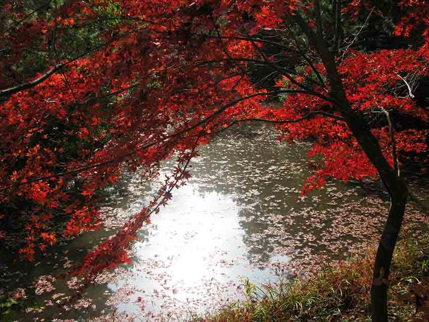 紅葉掉在池塘的水面上。