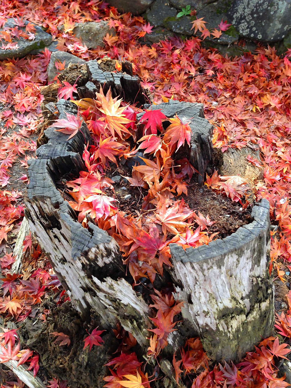 遍地落葉也讓人忍不住瘋狂拍照。
