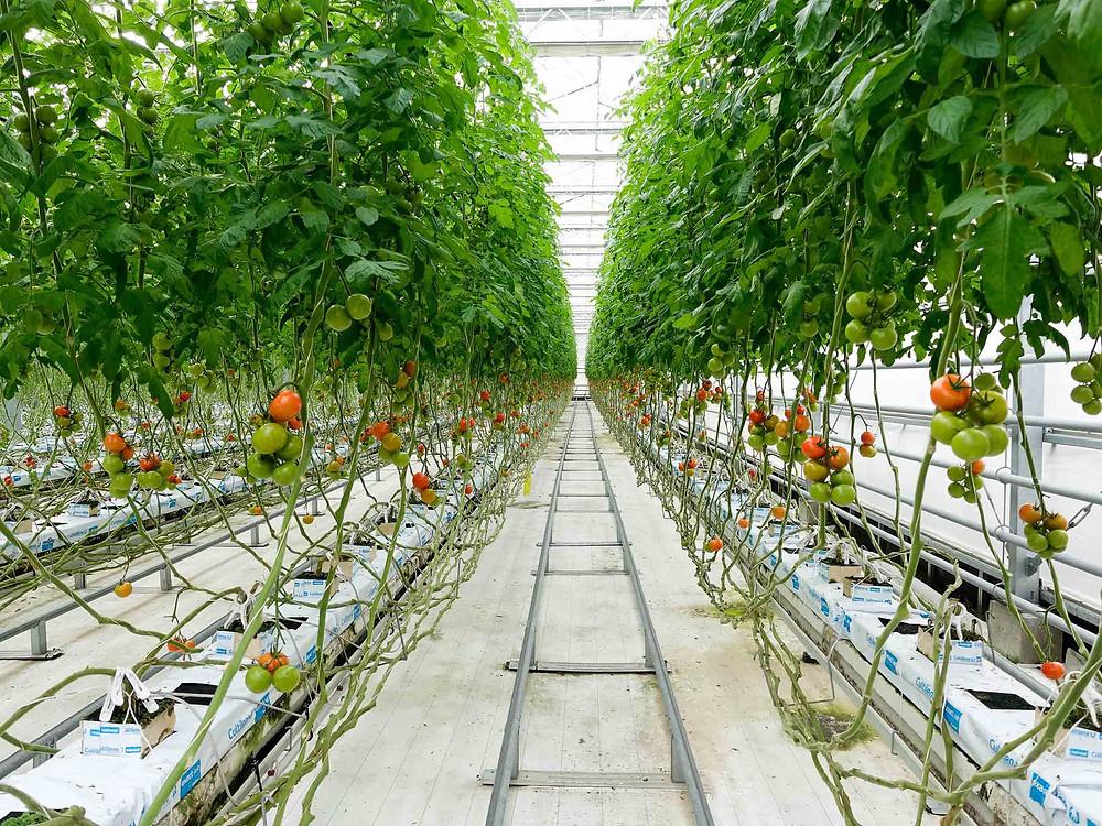 9個品種的番茄任摘唔嬲!