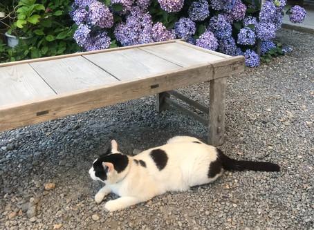 日本貓旅|京都・梅宮大社・賞花又賞貓