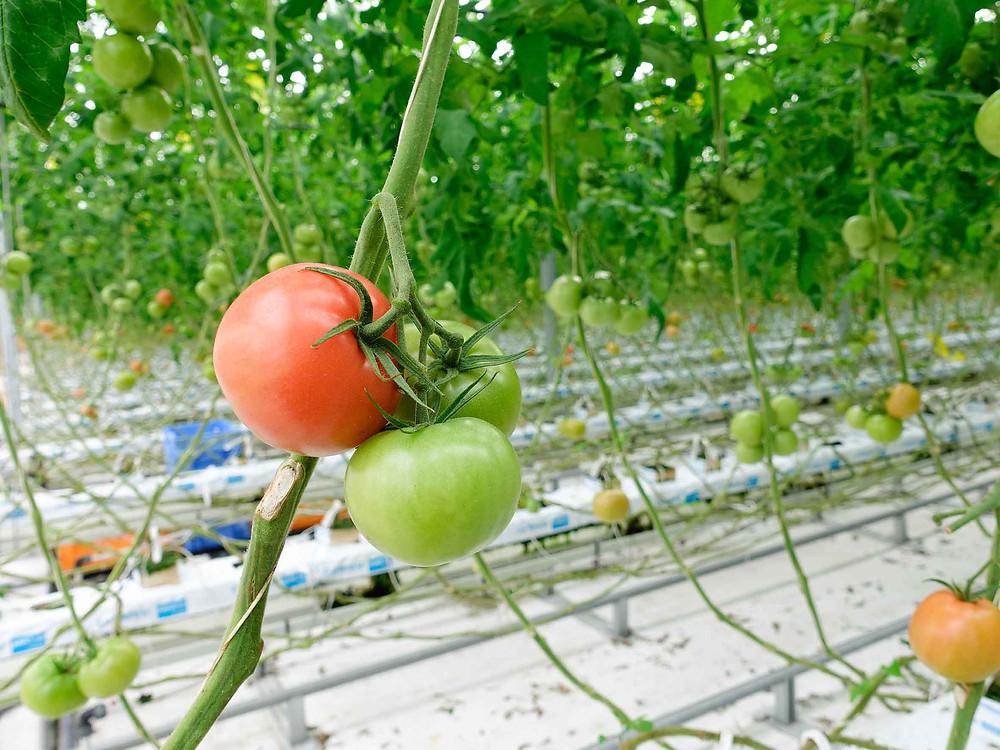 番茄到底要如何摘?