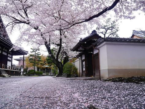 京都賞櫻 上京區櫻花秘點