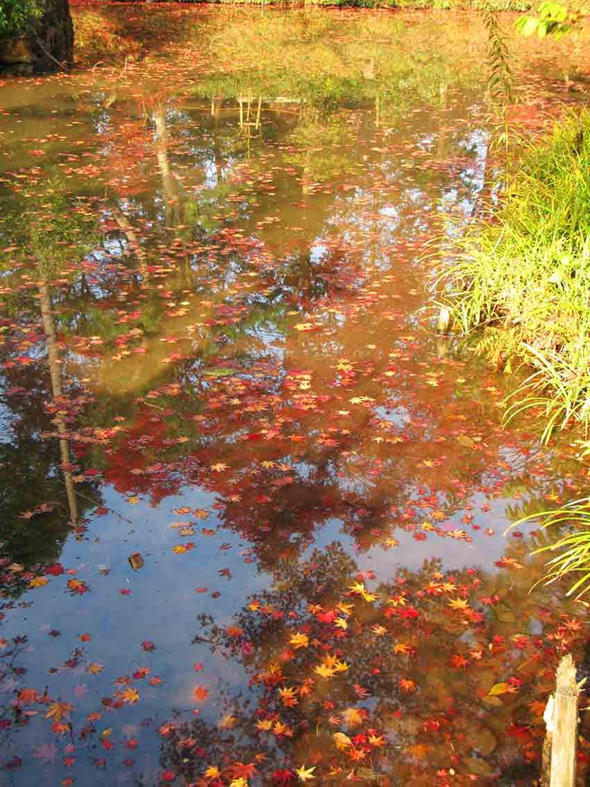 不同顏色的楓葉掉到水面,很美很美。