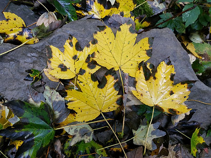 foglie acero autunno 2.jpg