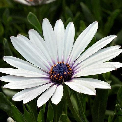 Остеоспермум Cape Daisy White