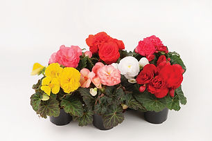 Begonia-tuberhybrida-GO!Early-F1-Mix_105