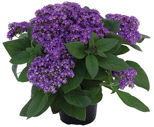 Heliotropium-arborescens-Honey-Blue_3698