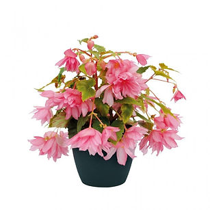 begoniya-funky-f1-light-pink-.jpg