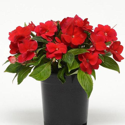 Бальзамин новогвинейский Дивайн Ред (Divine Red)