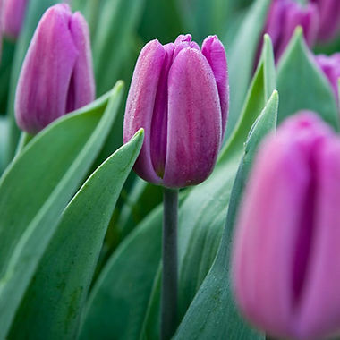 Tulipa 'Purple Flag'.jpg