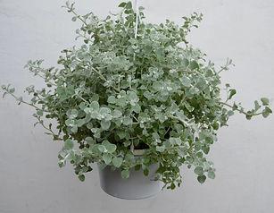 gelichrysum.jpg