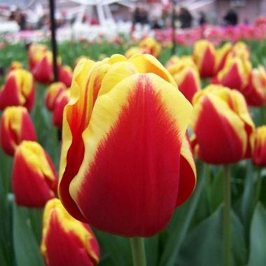 tulipa_denmark.jpg