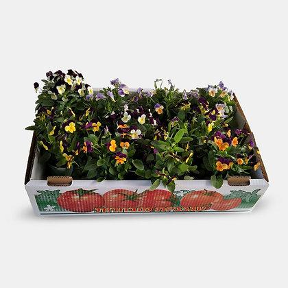 ארגז אמנון ותמר - פרחים ננסיים