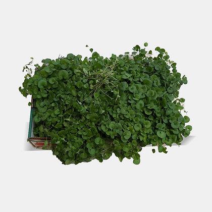 ארגז דיכונדרה ירוקה