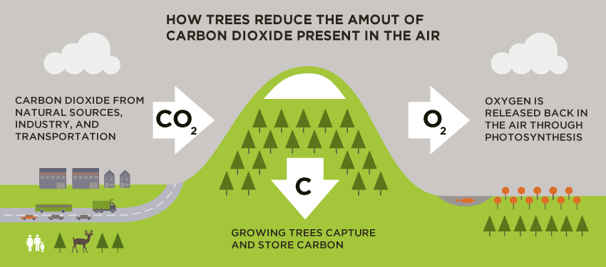 Infographics. How trees reduce the amount of carbon dioxide present in the aire. Carbon sequestration in forests and forest soils. Global Warming. Climate Coping.