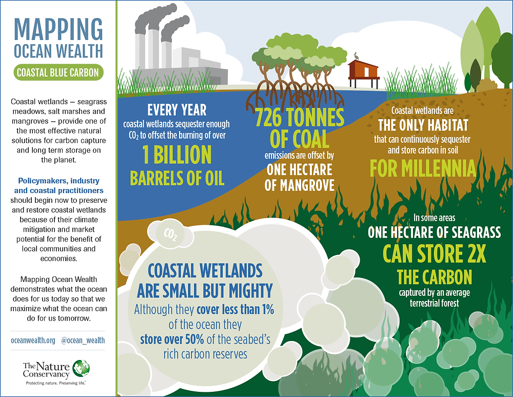 Infographics. The coastal blue carbon. Mangroves and coastal environments can capture more carbon than forests. Protect mangroves to capture 10 times more carbon. Seagrass can store 2 times more carbon than average land. Global Warming. Climate Coping.
