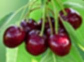 cherry-167341_1920.jpg
