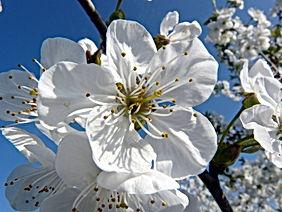 cherry-blossom-738084.jpg