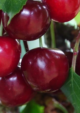 cherries-well-in-the-flesh-3204909_1920.