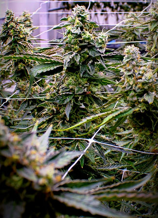 ILLA%252520Plants%252520and%252520Buds-5