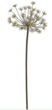 "36"" Dried Queen Anne Lace"