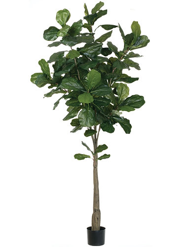 6 fiddle leaf fig tree - Fiddle Leaf Fig Tree