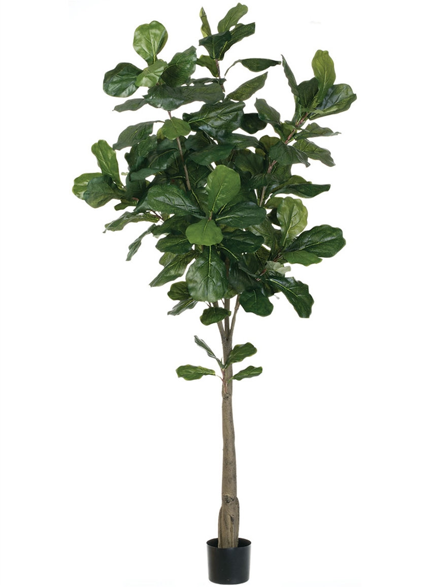6 fiddle leaf fig tree
