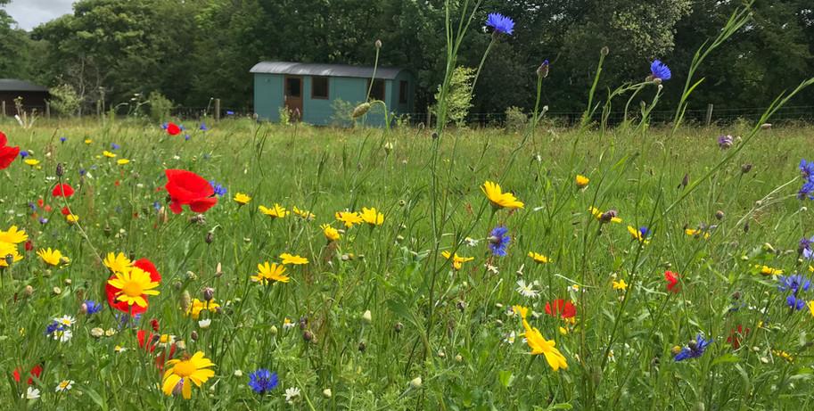 Sheppards Hut across Wild Meadow