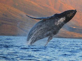 Humpbacks Endangered? Critical Year 2017