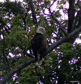 Bald Eagle on Raccoon Lake