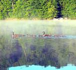 Geese on Raccoon Lake