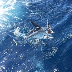 marlin jumping out of the water