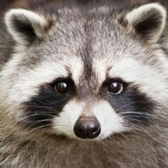 raccoon.jpg