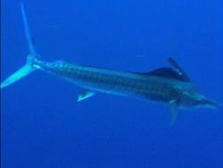 marlin underwater
