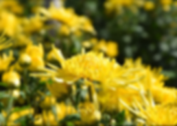 Golden chrys. field2.png