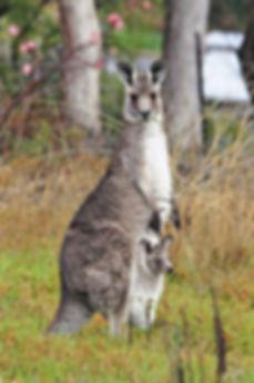 220px-Kangaroo_and_joey03.jpg