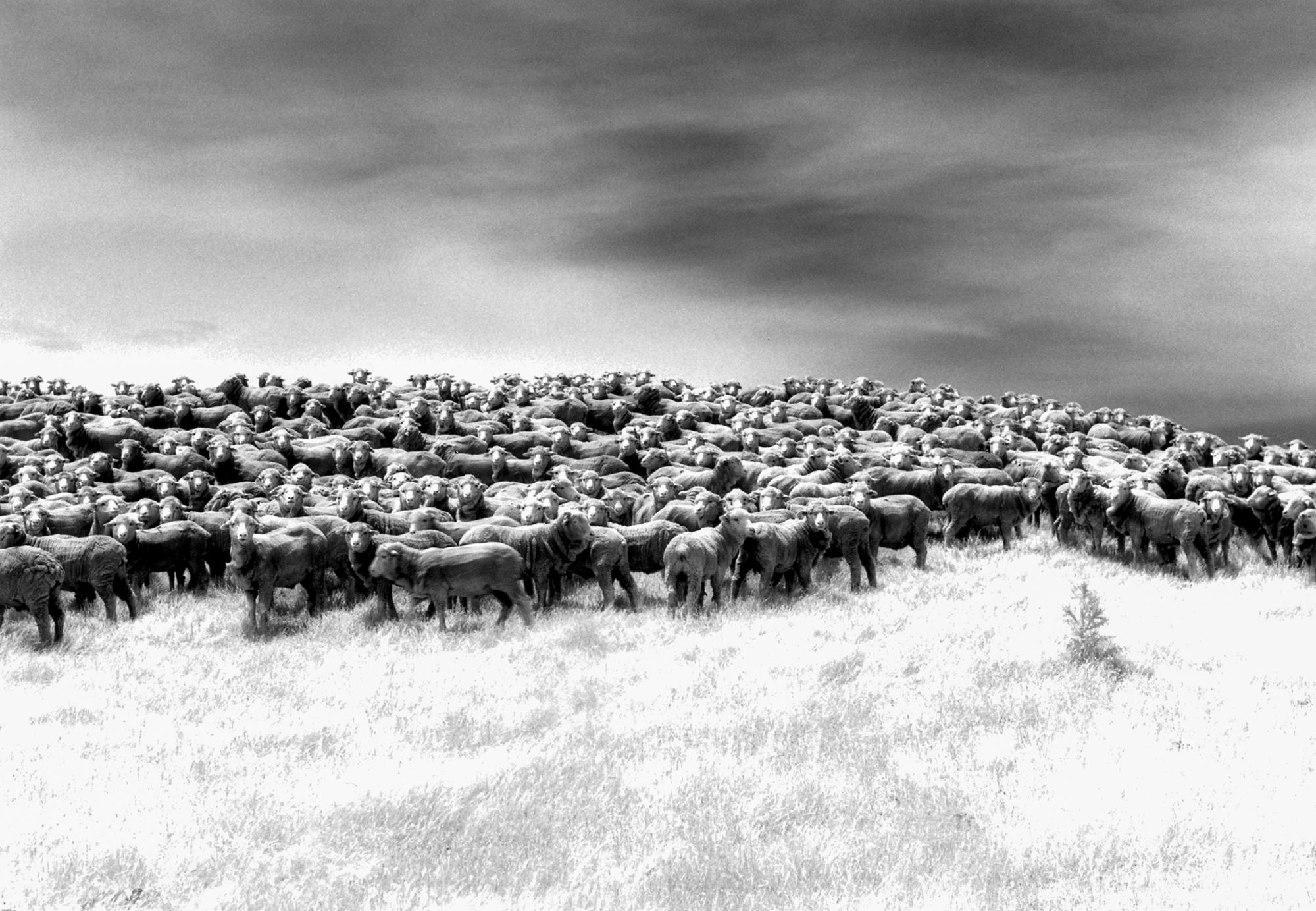 Infrared Sheep