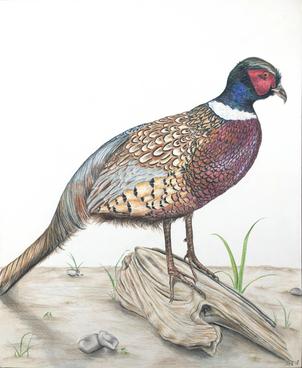 Ring-Necked Pheasant Illustration
